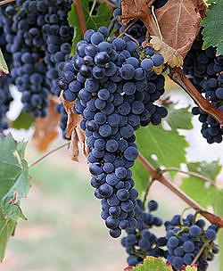 Grape Seed (Vitis Vinifera): Unprocessed Grape Seeds.